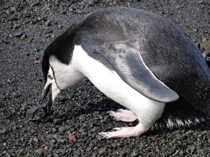 Chinstrap Penguin, Deception Island