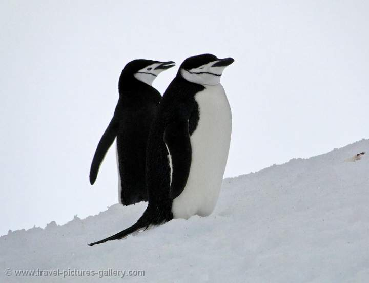 Chinstrap Penguins, Half Moon Island
