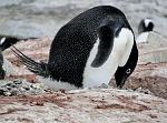 Ad�lie Penguin, Petterman Island