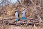 Blue Footed Boobies, Isla de la Plata