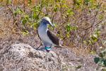 Blue Footed Boobie, Isla de la Plata