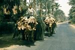 boys transporting palm leaves with camels at the oasis