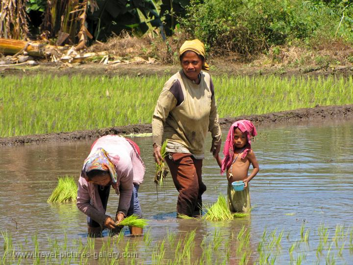people planting rice