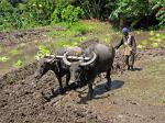 plowing the fields with water buffaloes