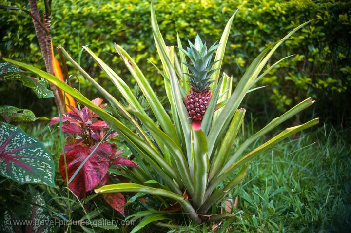 Pictures of Indonesia - Sulawesi-0036 - pineapple plant Pictures