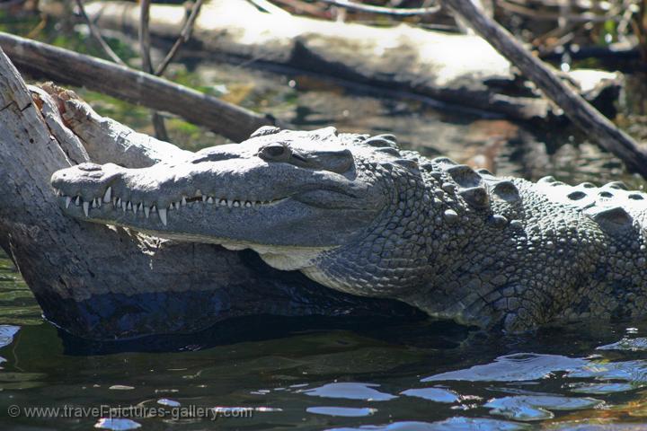jamaican crocodile - photo #17