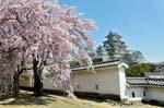 Himeji castle, spring blossom, Sakura
