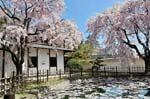 Himeji castle, pond with spring blossom, Sakura