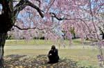 spring blossom, Sakura