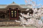 Sakura, spring blossom, Sanmon gate, Engakuji