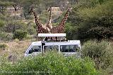 safari in Samburu National Park, watching giraffe