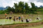 people working in the rice-paddy fields