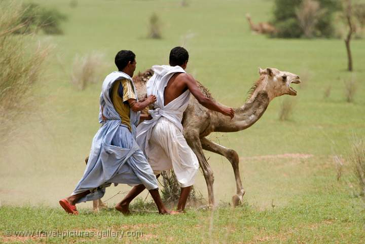 men catching a young camel
