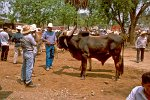 proud man, selling cattle, Valle Centrales