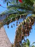weaver birds nests, Bazaruto island