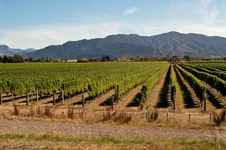 vineyards, wine country near Nelson