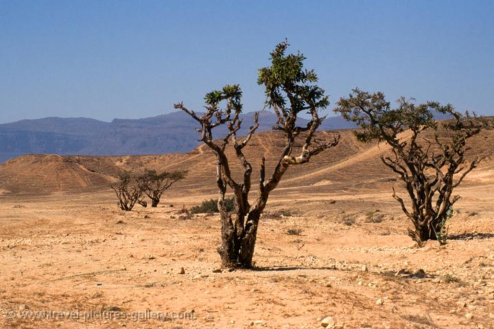 sparse desert vegetation, incense trees