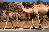 Pictures of Oman - camels along the highway