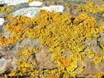 Brough of Birsay, lichen on a rock