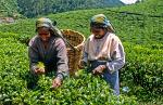 girls picking tea leaves near Nuwara Eliya