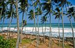 coconut palms near Weligama Bay