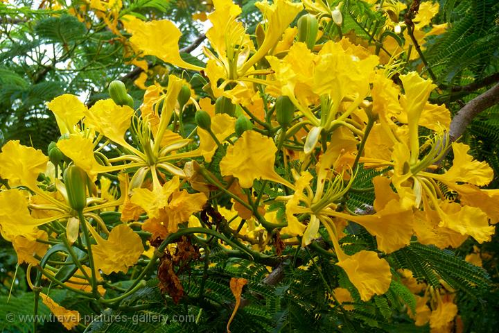 Belmopan, Cayo, Belize: garden with yellow Flamboyant tree ...