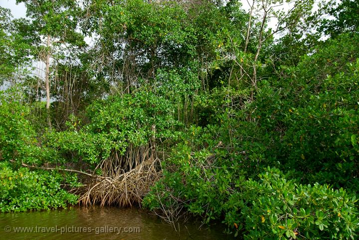 Pictures of Trinidad - South and Central- mangrove at the Caroni Swamp and Bird sanctuary