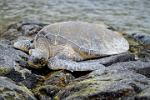 Hawaiian Green Sea Turtle, Kona beach