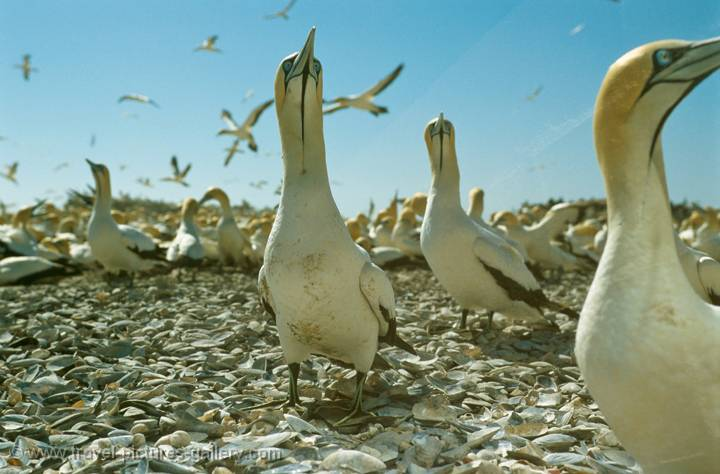 Cape Gannets, Lambert's Bay, South Africa