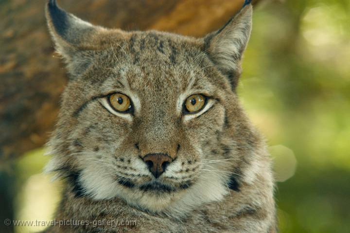 an analysis of the animal species lynx It has been placed in the genus lynx according to genetic analysis  the canada lynx (lynx canadensis)  scotia's endangered species act (nova scotia lynx.