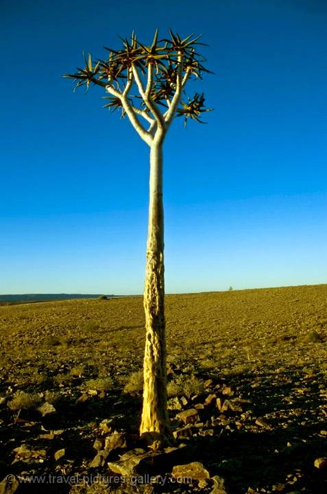 a Kokerboom or quiver tree at Fish River Canyon