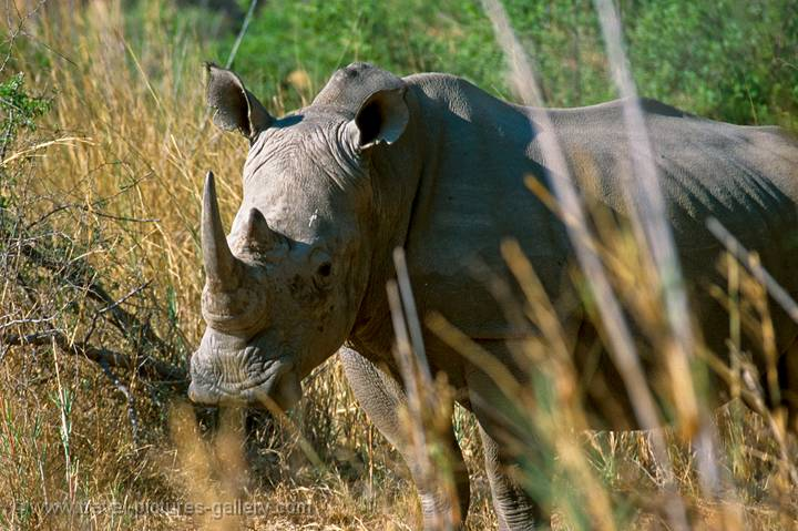 a white rhino in Matopos National Park, Zimbabwe