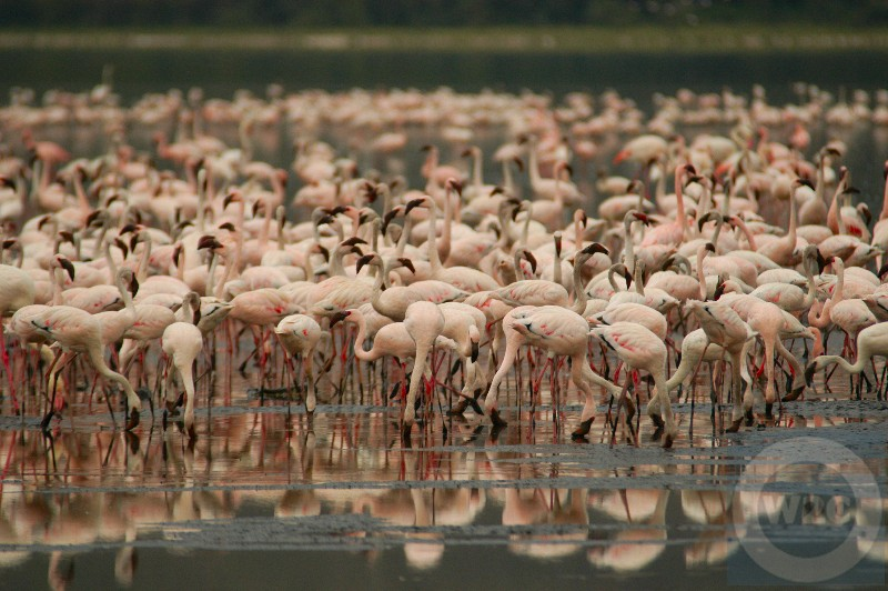 Kenya, Lake Nakuru, flamingoes